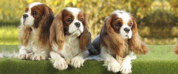Herzerkrankungen Hunde